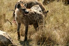Free Spotted Hyena Royalty Free Stock Photography - 4994767
