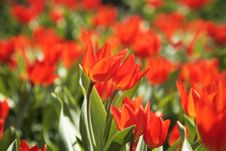 Free Tulip. Royalty Free Stock Photos - 4994878