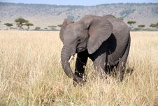 Free Young Elephant In The Grass Royalty Free Stock Photo - 4994885