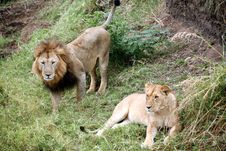 Free Lion And Lioness On The Grasslands Stock Images - 4994954