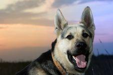 Free Alsatian Dog Stock Photography - 4995862