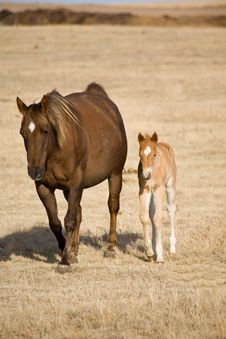Free Quarter Horse Mare And Foal Stock Photography - 4995902