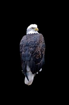 Free Bald Eagle Royalty Free Stock Photo - 4995965