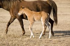 Free Quarter Horse Mare And Foal Royalty Free Stock Image - 4996086