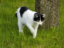 Free Black And White Cat On Hunt Royalty Free Stock Image - 4996186