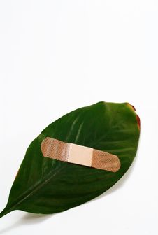 Free Global Warming Leaf Bandaged Royalty Free Stock Photo - 4996915