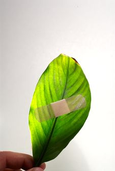 Free Global Warming Leaf Bandaged Royalty Free Stock Photography - 4996947