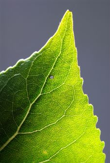 Free Leaf Design Veins Royalty Free Stock Photos - 4996968