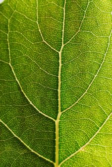 Free Leaf Design Veins Royalty Free Stock Images - 4996969