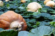 Free Pumpkin Field Royalty Free Stock Images - 4997049