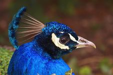 Free Indian Peafowl Stock Image - 4998061
