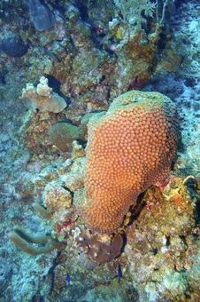 Great Star Coral And Reef Stock Photo