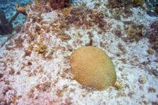 Free Brain Coral In Sandy Area Royalty Free Stock Photography - 4998777
