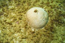Free Brain Coral In Sandy Area Stock Photos - 4998793