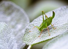 Free Grasshopper Royalty Free Stock Images - 4998919