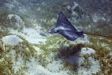 Free Spotted Eagle Ray (Aetobatus Narinari) Stock Photos - 4999073