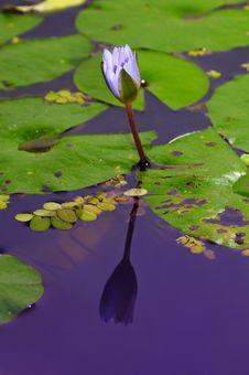 Free Lotus Flower Stock Images - 4999224