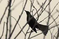 Free Black Bird Stock Image - 4999591