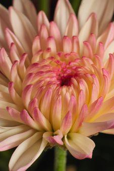 Free Pinkish Chrysanthemum Series 1 Royalty Free Stock Photos - 4999888