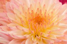 Pinkish Chrysanthemum Series15 Royalty Free Stock Photo