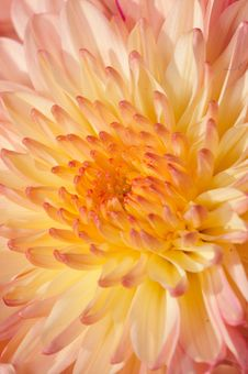 Pinkish Chrysanthemum Series18 Royalty Free Stock Photo