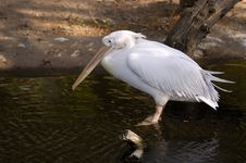 Free Pelican Royalty Free Stock Photography - 52057