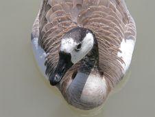 Free Wet Goose Stock Photography - 52192