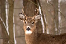 Free Small Buck Stock Photography - 52312