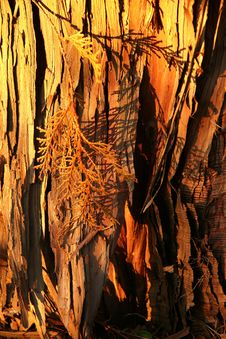 Free Sunkissed Bark Stock Image - 52781
