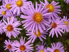 Free Violet Daisies Royalty Free Stock Photography - 53307