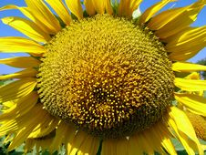 Free Sunflower Royalty Free Stock Photography - 54637