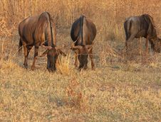 Free Blue Wildebeest Royalty Free Stock Photo - 55325