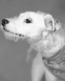 Free Terrier Trouble Stock Photo - 56090