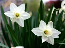 Free White Daffodils Royalty Free Stock Image - 57606