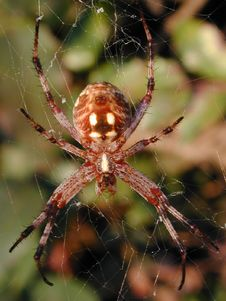 Free Spider Tangled In Web Royalty Free Stock Photo - 57785