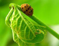 Free Ladybug On Leaf Royalty Free Stock Image - 58326