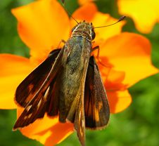 Free Butterfly Resting On Orange Flower Stock Photo - 58330