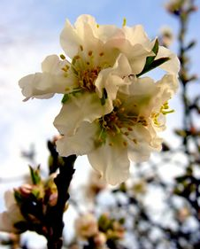 Free Apple Blossom Stock Image - 58831