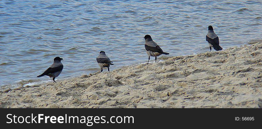 Four sea-gulls