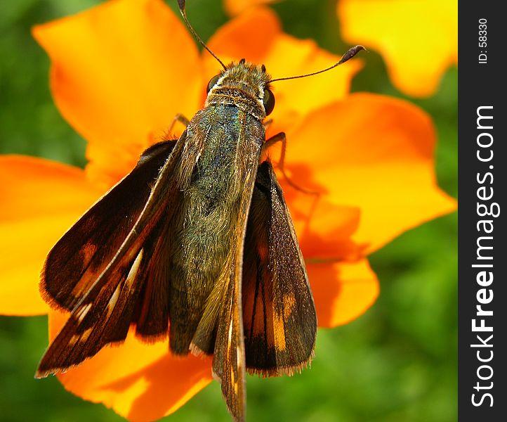 Butterfly Resting On Orange Flower