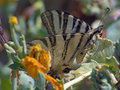 Free Butterfly Iphiclides Podalirius. Royalty Free Stock Image - 504666
