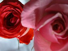 Free Red And Pink Rose Stock Photos - 501383