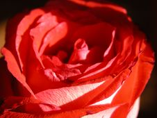Free Red Rose Stock Images - 501384