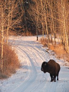 Free Bison On Road Stock Photos - 502193