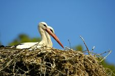 Nesting White Storks Royalty Free Stock Image