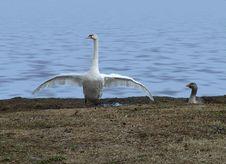 Free Swan Dance Stock Image - 502631