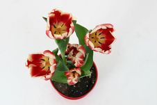 Free Red And Yellow Tulips Royalty Free Stock Photos - 503278