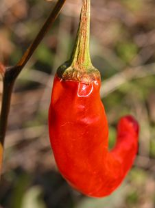 Free Red Pepper Stock Photos - 504563
