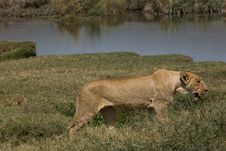 Free Animals 078 Lion Stock Photography - 505032