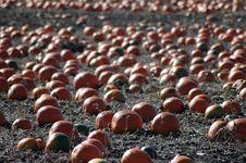 Free Pumpkin Fields 1 Stock Image - 505131